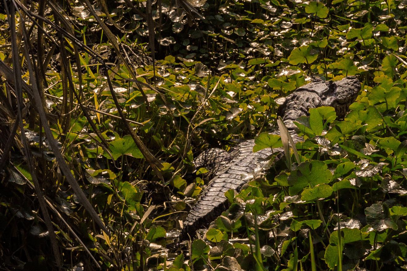 Alligator in the mangrove