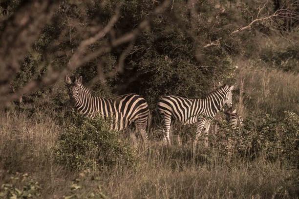 zebras-2-.jpg