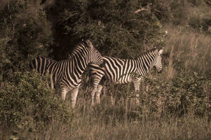 zebras-3-.jpg