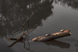 O disputado tronco entre tartarugas e jacarés para o banho de sol