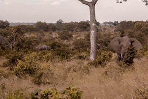 Elefante-Kruger-.jpg