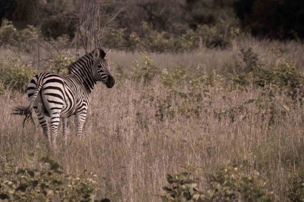 zebra-1-.jpg