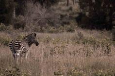 zebra-2-.jpg