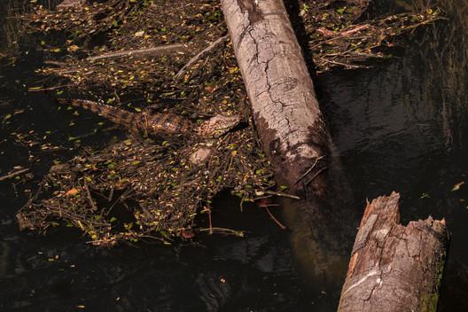 Sequencia do Jacaré subindo no disputado tronco do banho de sol