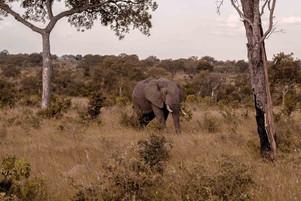 Elefante-Kruger-2-.jpg
