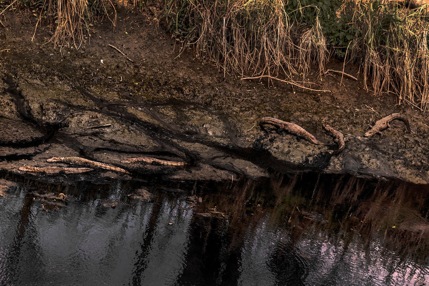 Half a day there are always 6 alligators sunning very close to the bridge.