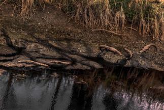Meio dia sempre tem uns 6 jacarés pegando sol bem próximo da ponte.