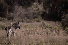 zebra-3-.jpg