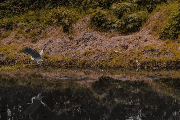 Jacaré do papo aparelo pegando sol na beira do rio e Garça Moura voando