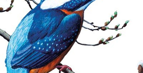 The Common Kingfisher Natural History Museum Card