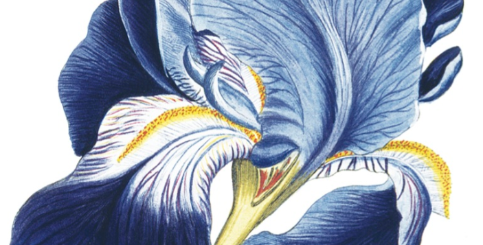 Flag Iris Natural History Museum Card