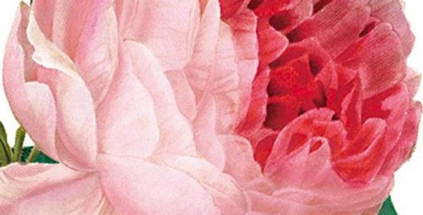 Rosa Centifolia Natural History Museum Card