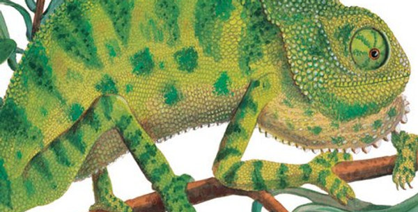 Chameleon Natural History Museum Card