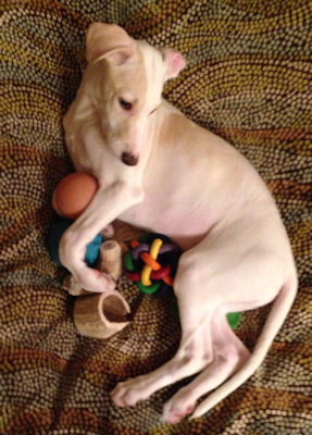 """Creme split face boy now named """"Tucker"""" left for his home in St. Louis, MO with plans to be a therapy dog!"""