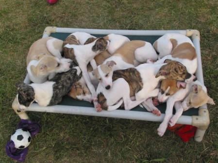 Cory x Sassy Litter puppy pile