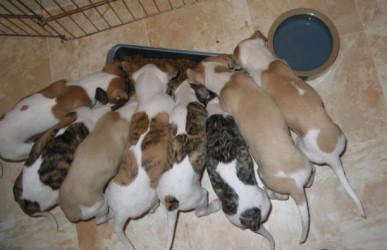 Cory x Sassy Litter - hungry pups