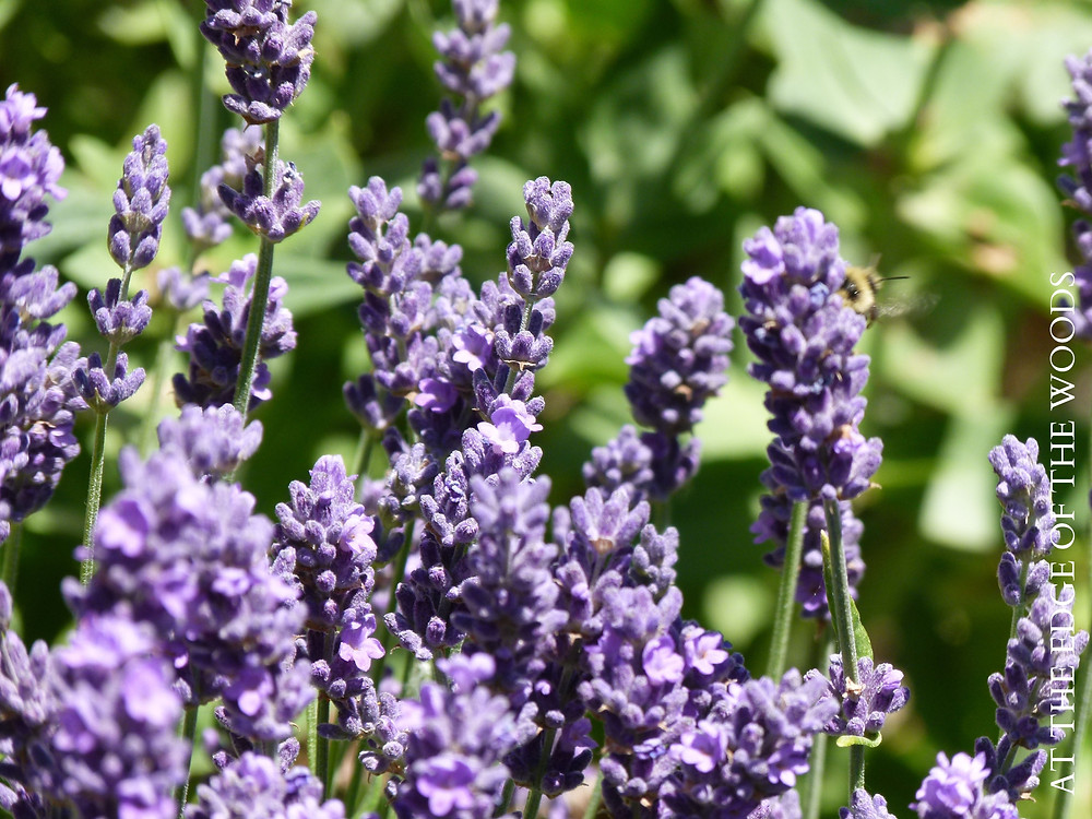 lavender plants blooming in the garden