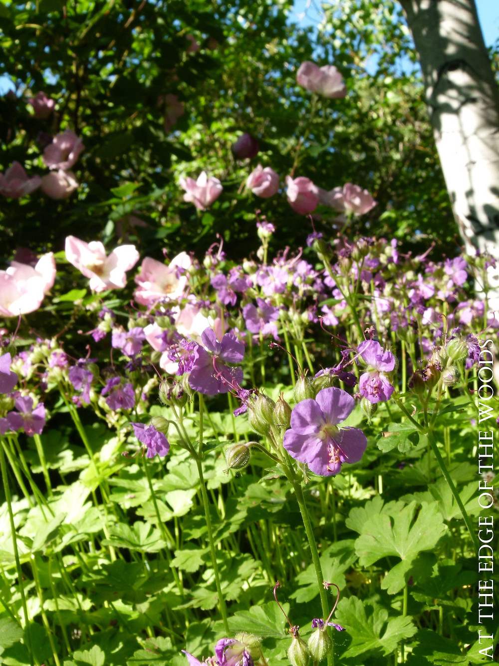 lavender geraniums bloom in the foreground with rainbow roses behind