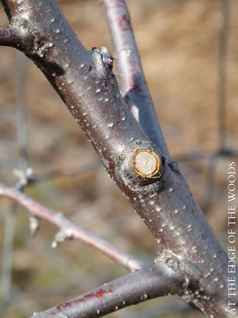 a fresh pruning cut on a plum tree