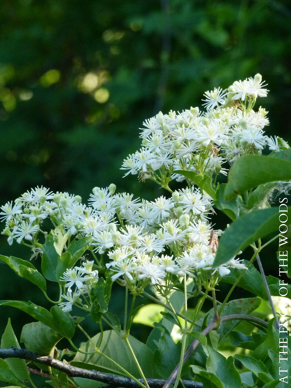 clusters of lacy white wild clematis blooms