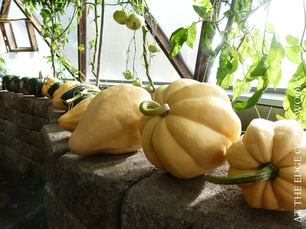 Thelma Sanders' squash curing in the greenhouse