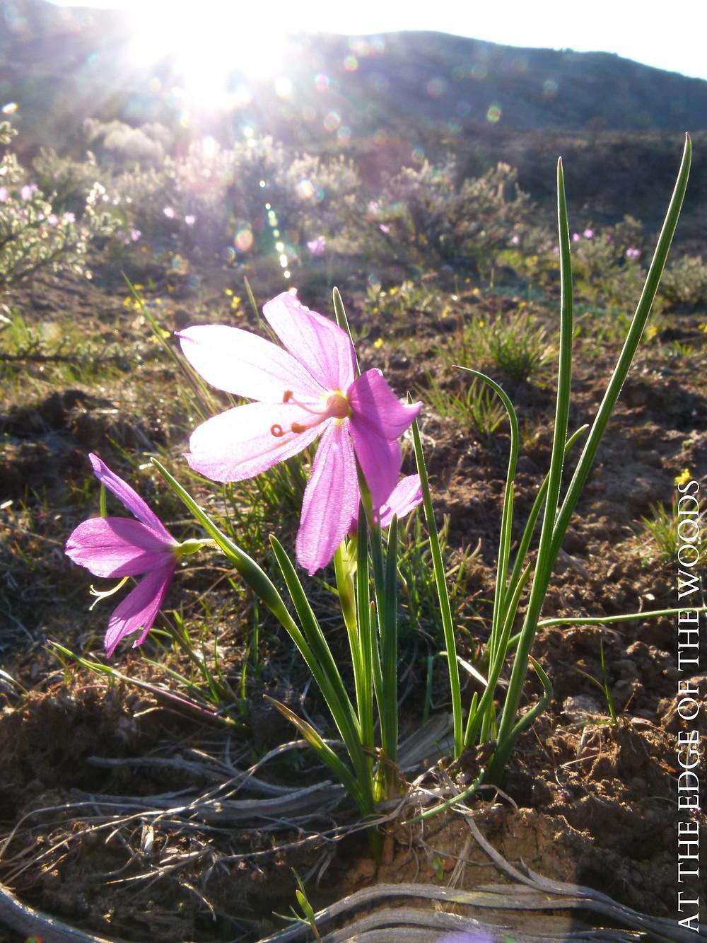 Grass Widow wildflowers, Gold Stars, and sagebrush
