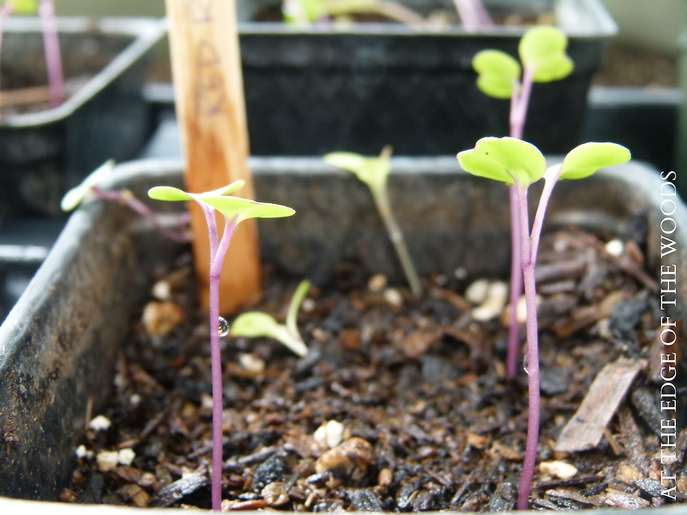 Red Russian Kale sprouts in the greenhouse