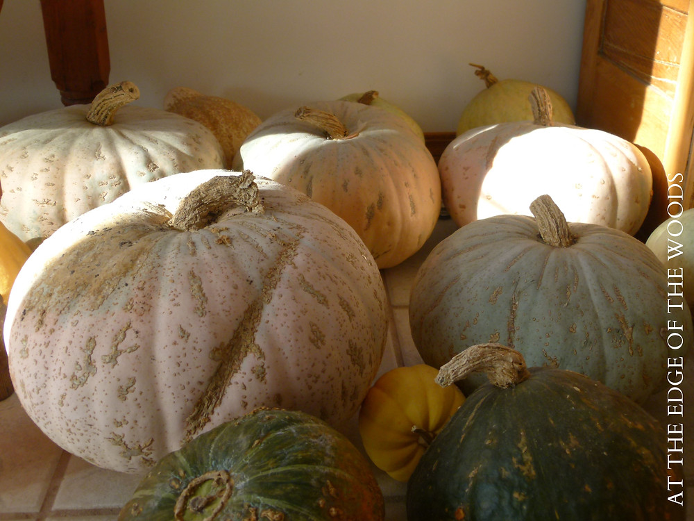 Sweetmeat squashes in the sunroom