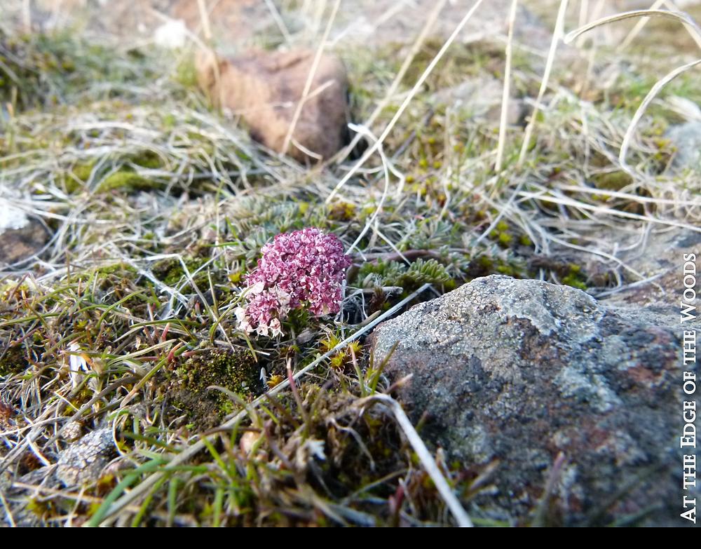 a Lomatium piperi wildflower