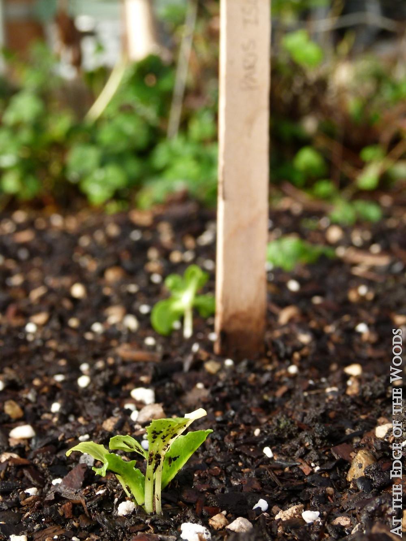 lettuce starts in the greenhouse soil