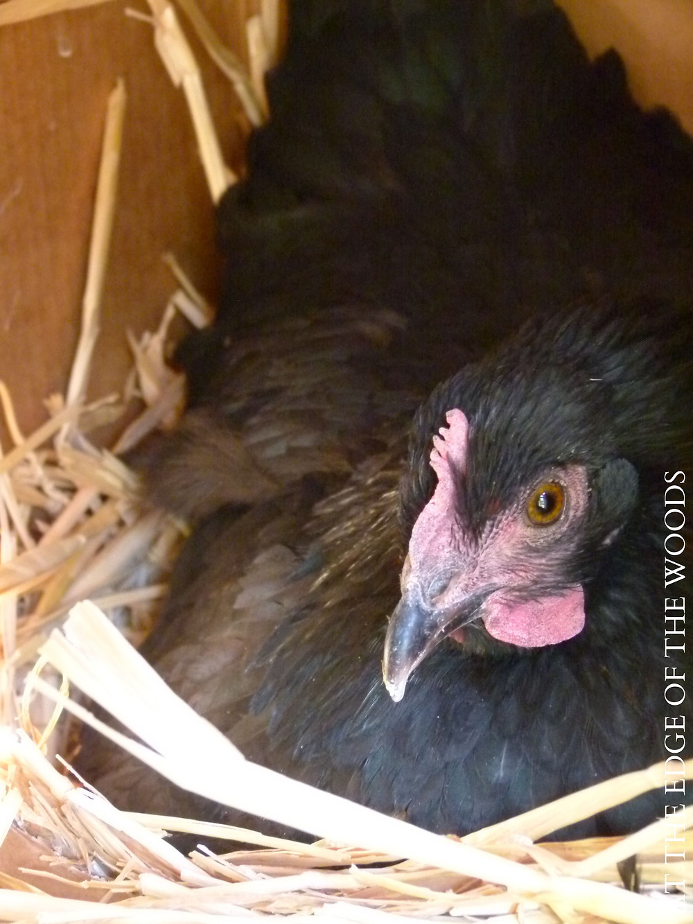 our broody hen setting on her eggs