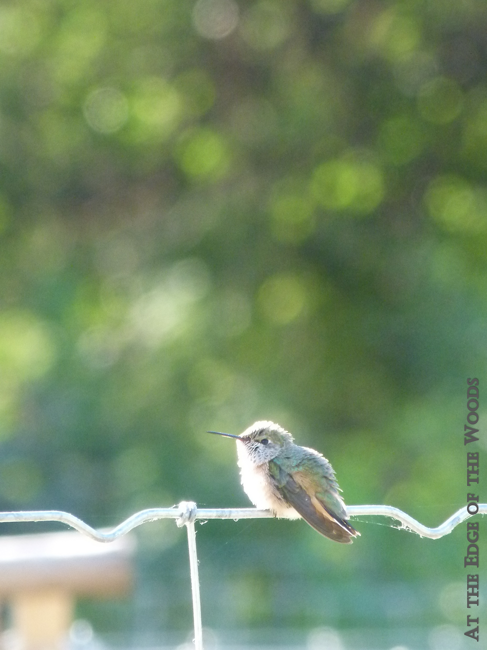hummingbird perching on the wire
