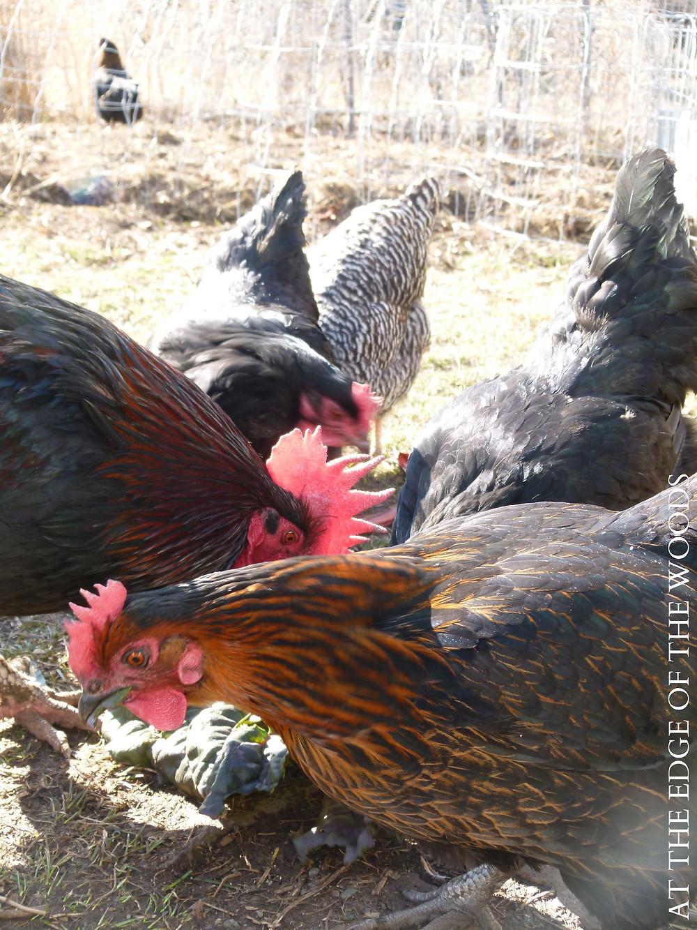 Black Star, Black Copper Marans, Australorp, and Barred Rock chickens