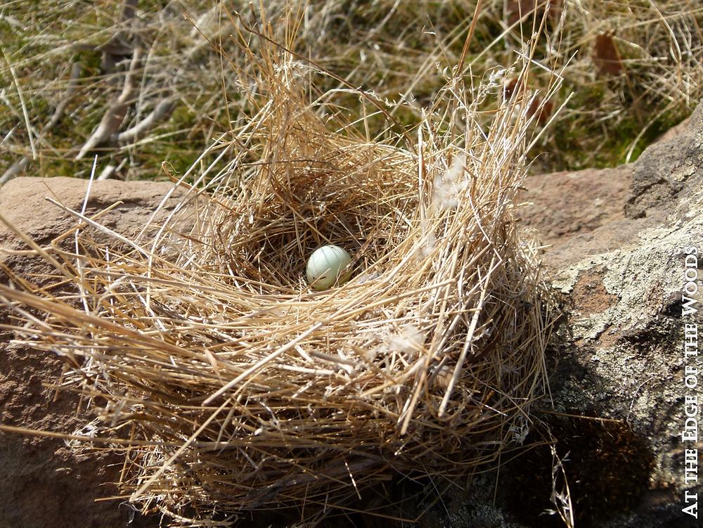 bluebird nest with a discarded egg