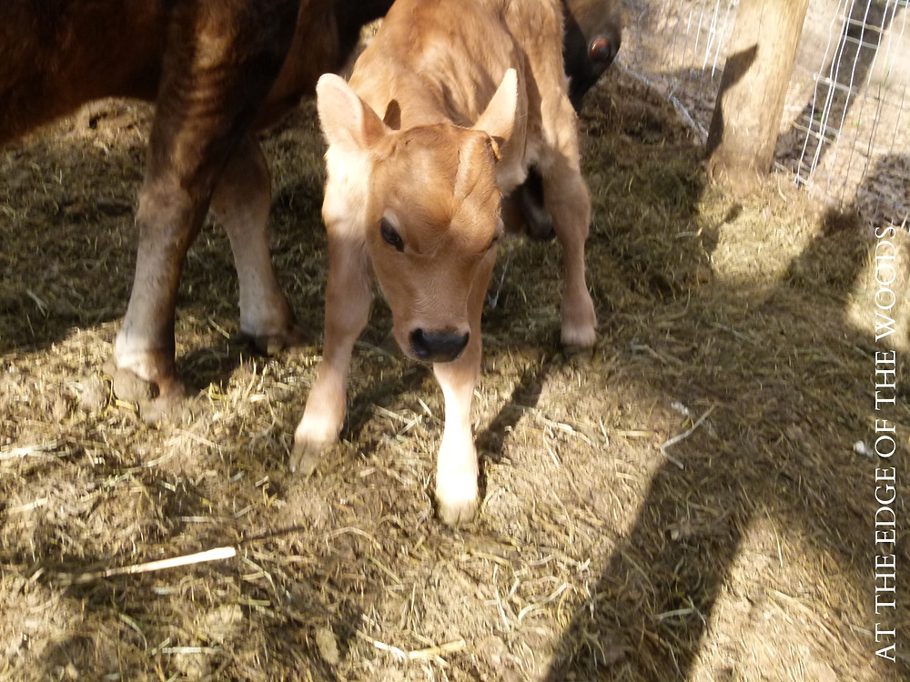 the new calf exploring her world