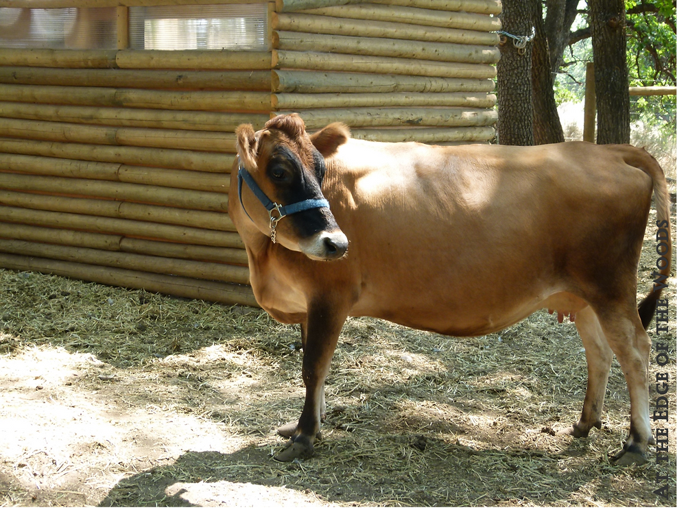 our milk cow, Lissy, standing in the sunshine
