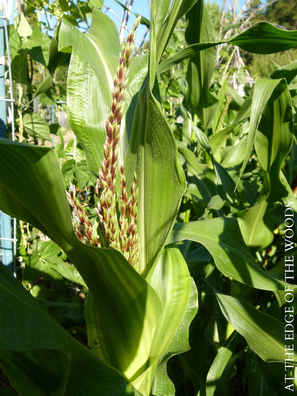 a corn tassel about to bloom