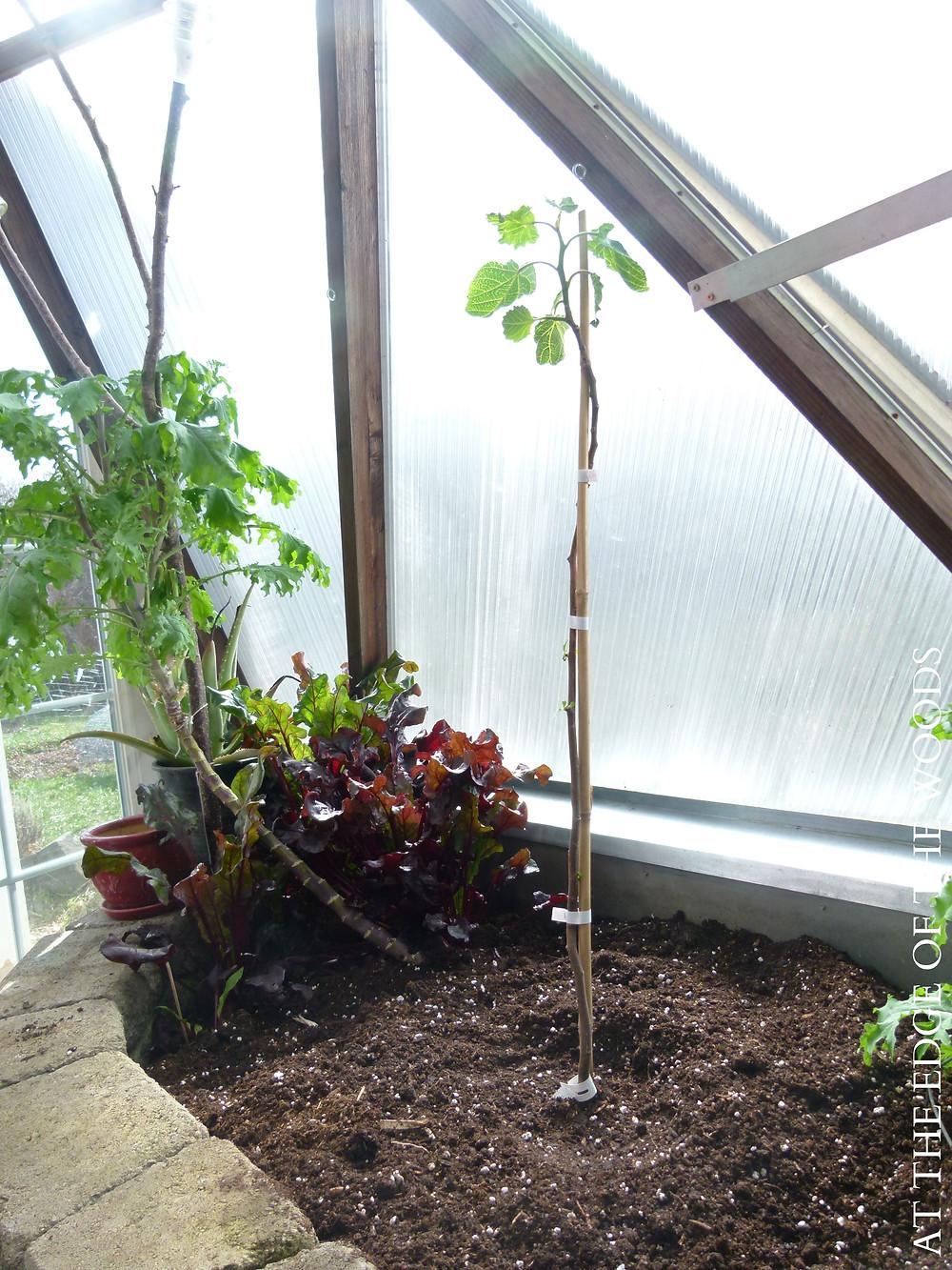 a Violette de Bordeaux fig tree in the greenhouse