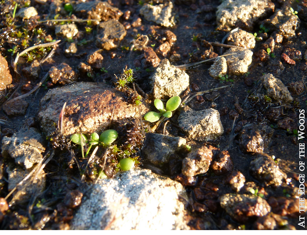 early plants sprout between rocks