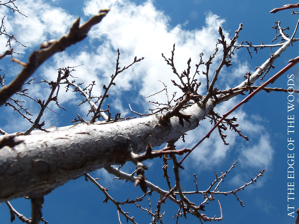 plum tree branches against a blue sky