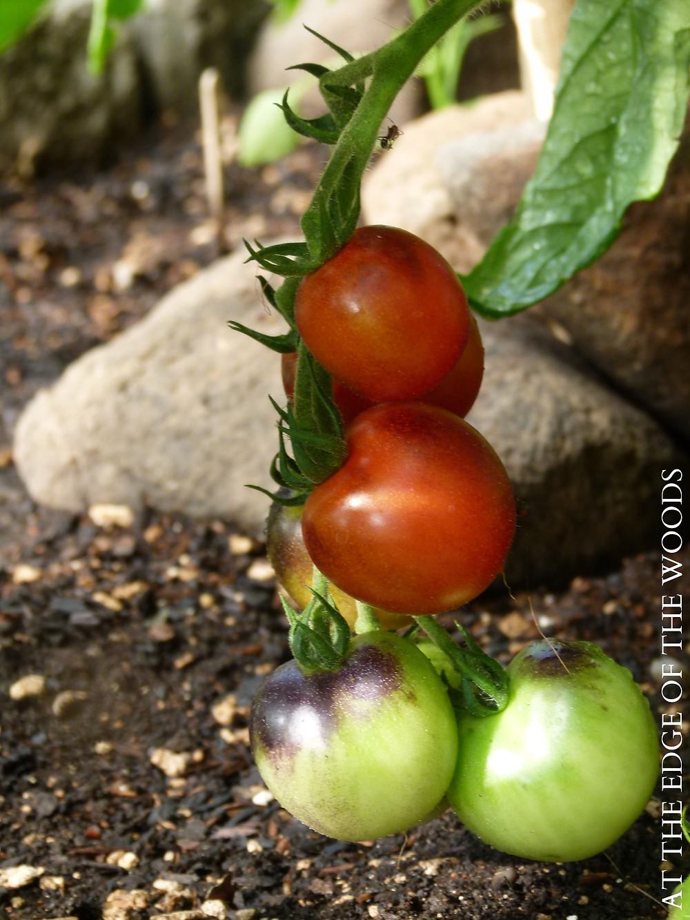 Indigo Cherry tomatoes