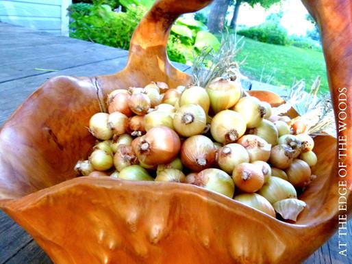 Shallot Harvest