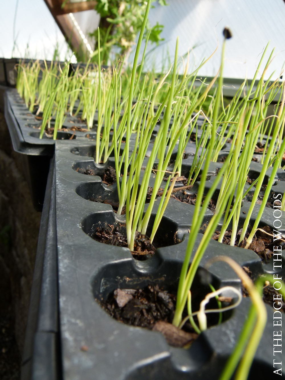 onion sprouts in cell trays