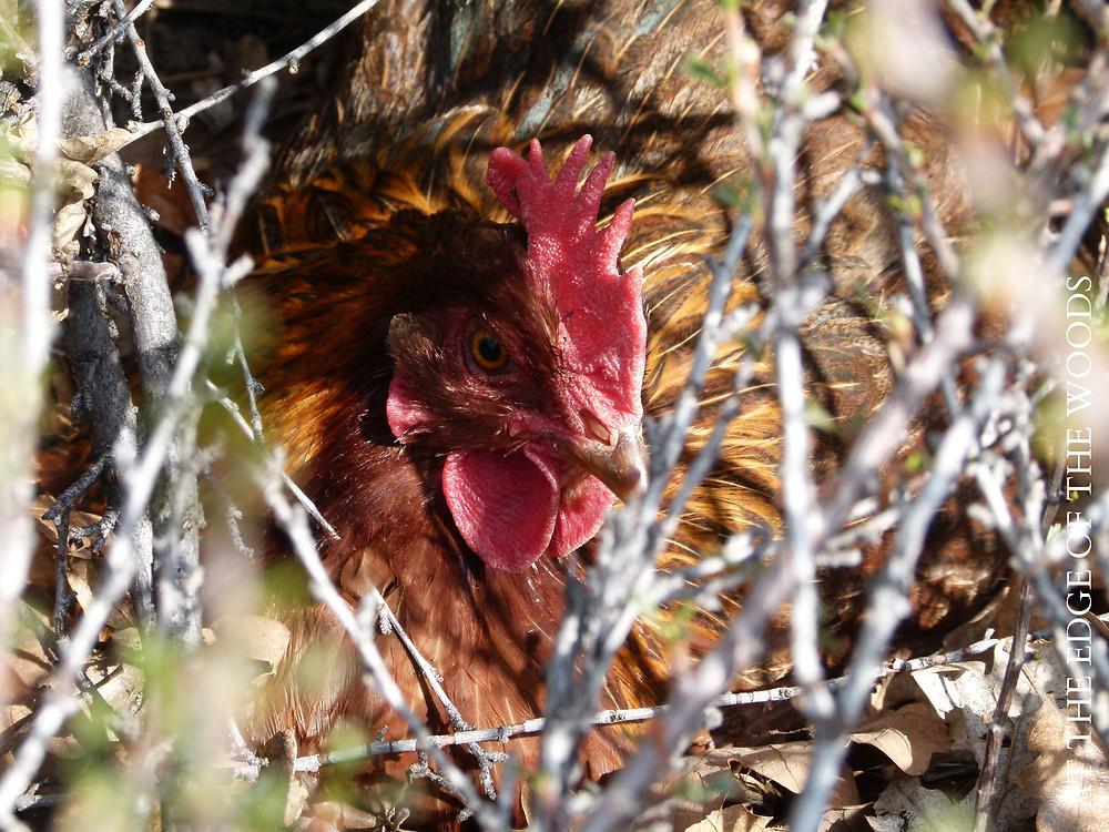 welsummer hen on a nest in the brush
