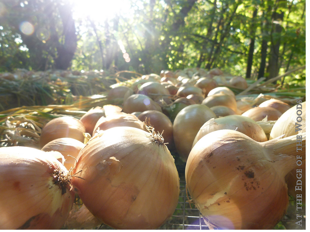 Onion bulbs curing on the drying rack