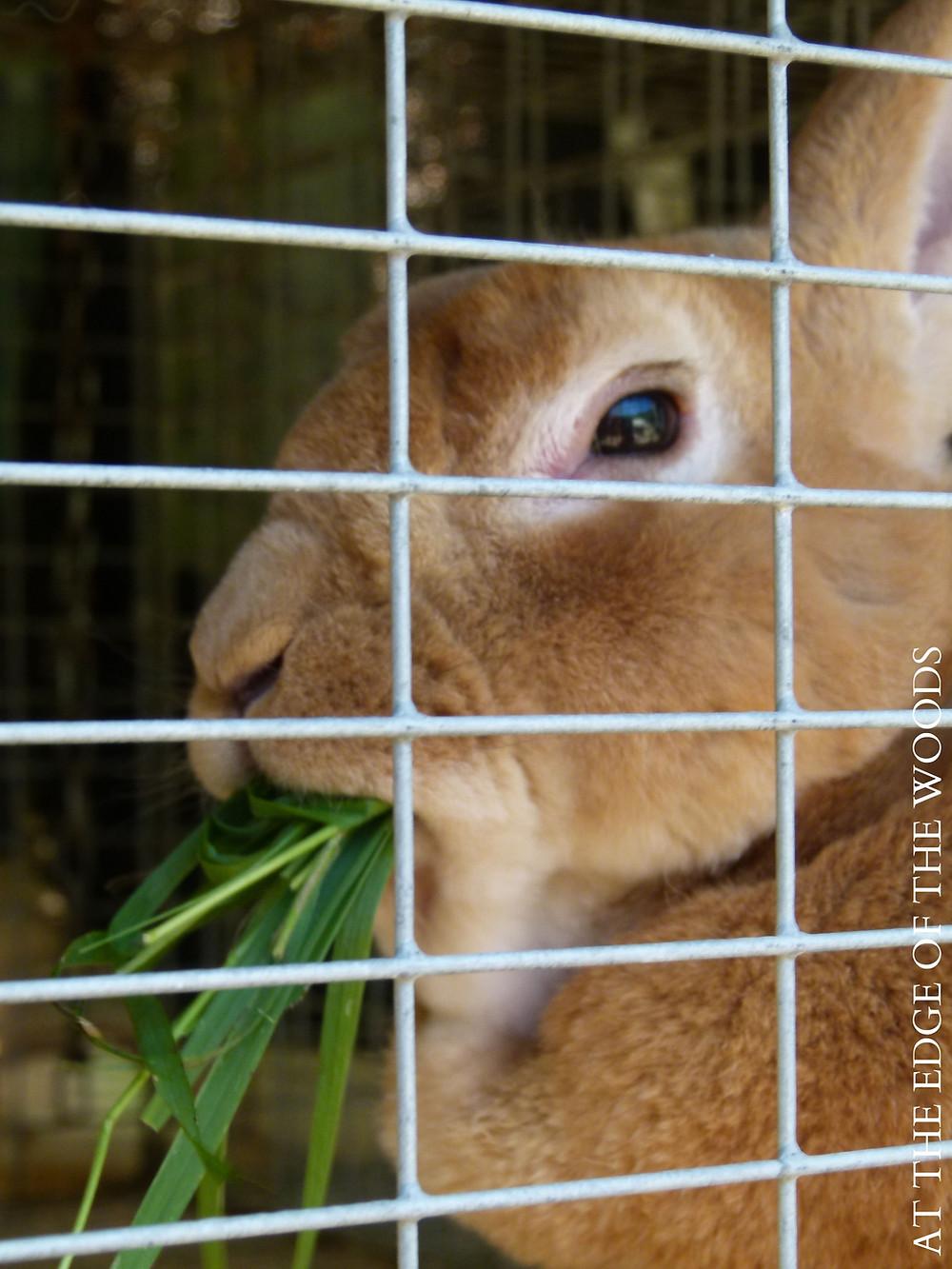 the old butterscotch buck rabbit