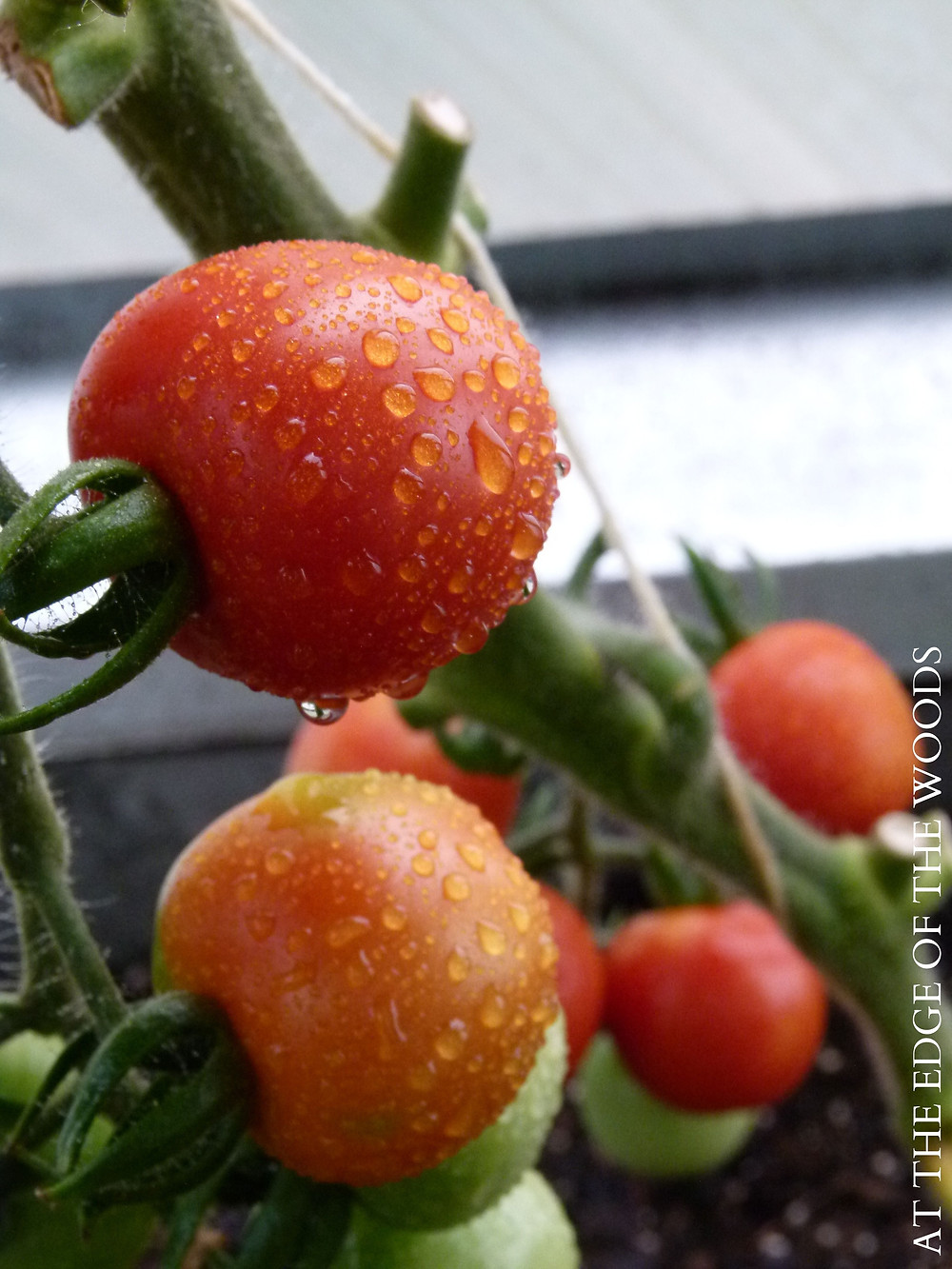 a mist of water keeps the greenhouse tomatoes cool during the August heat