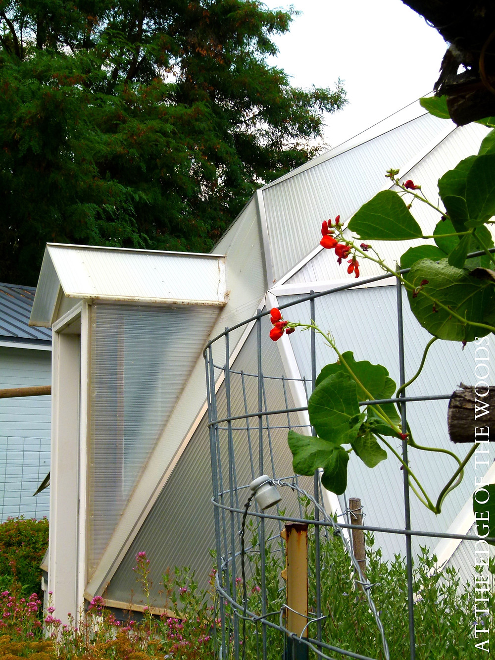 runner beans growing outside the greenhouse door