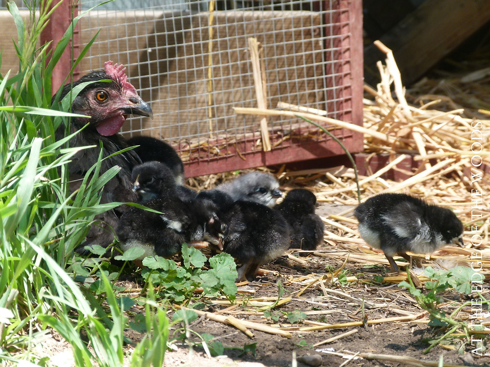 our broody hen diligently guarding her chicks