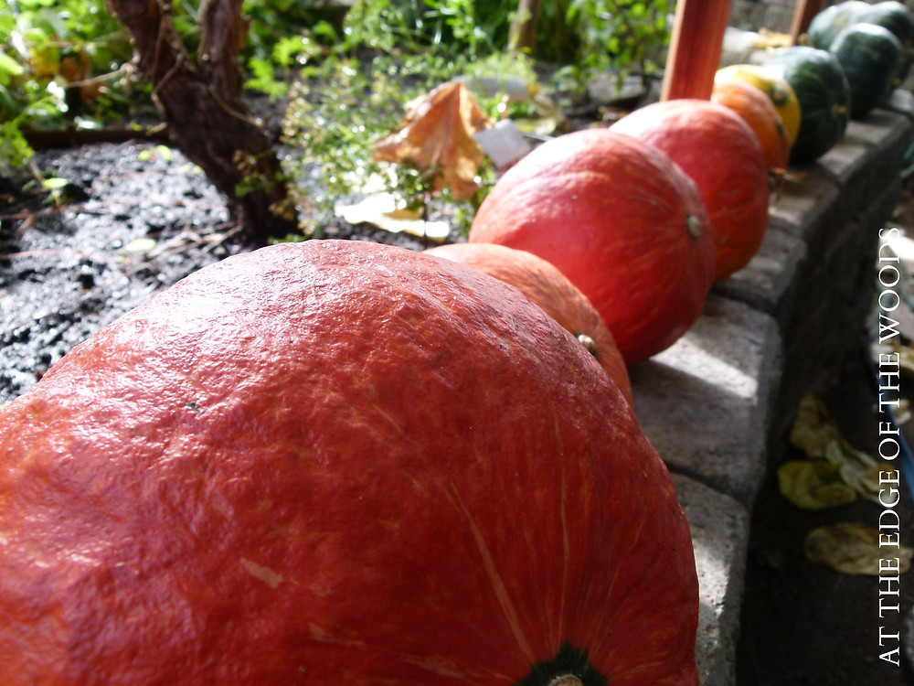 red kuri squash curing in the greenhouse